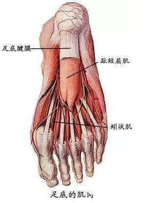 足解剖结构图